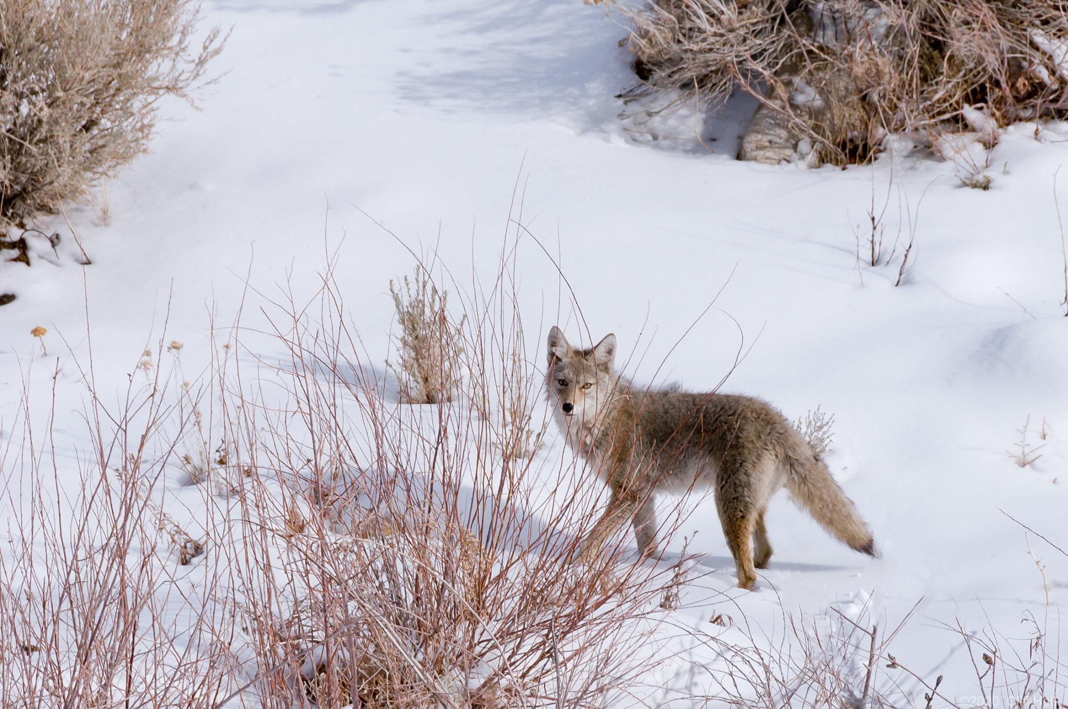 Coyote, with nice winter coat