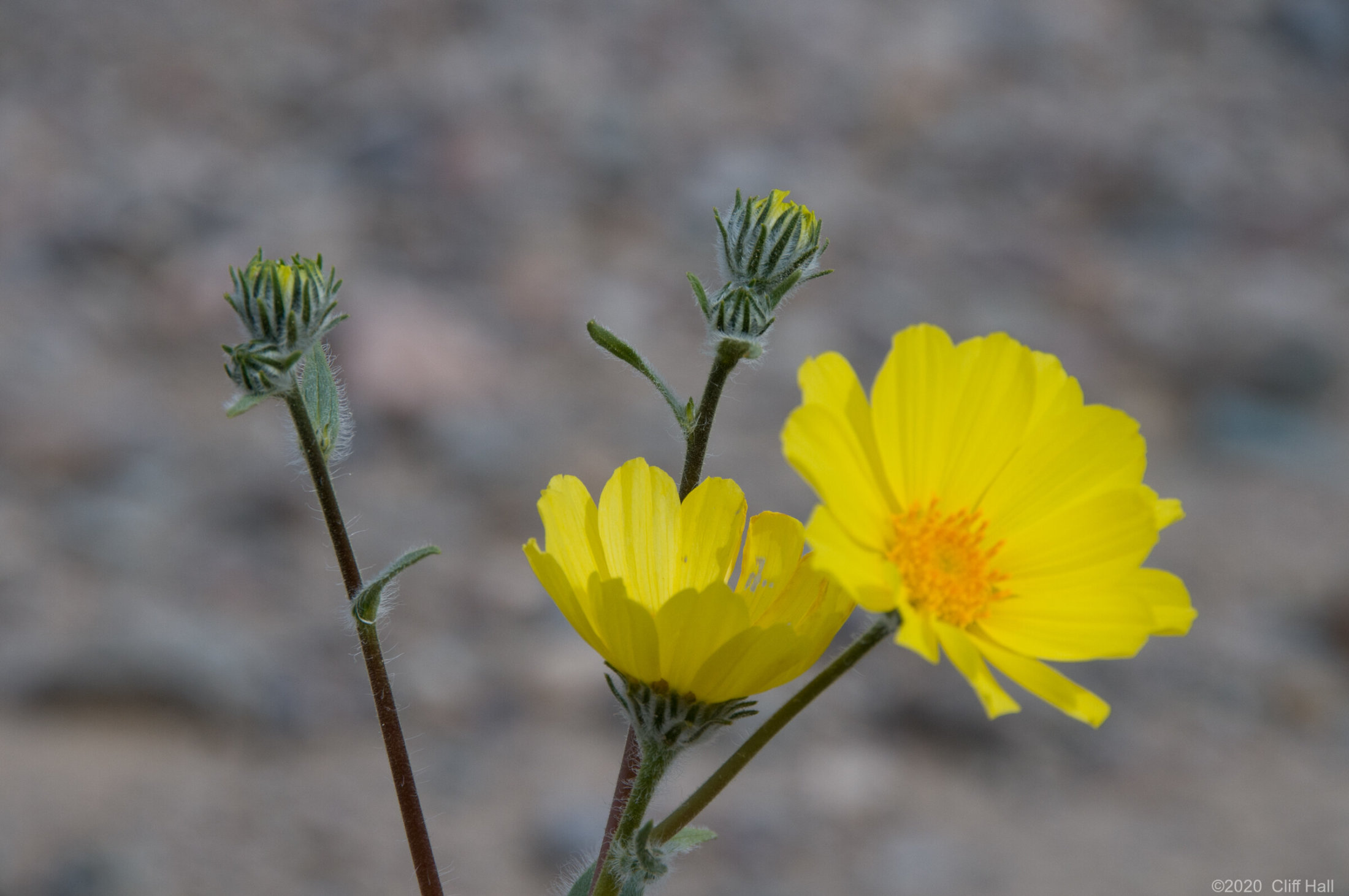 Desert Gold wildflower in Death Valley, CA
