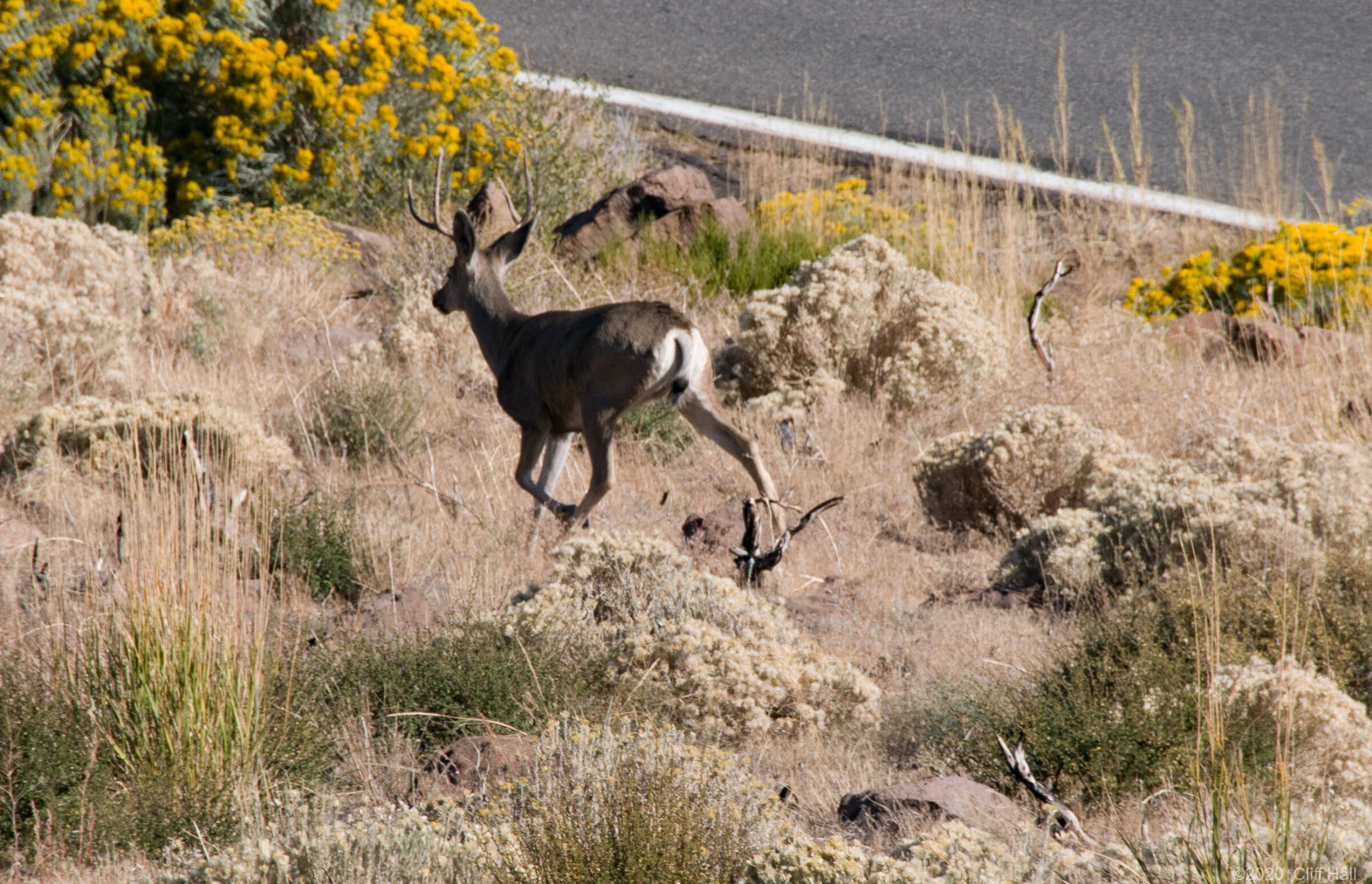 Deer on Monitor Pass Road
