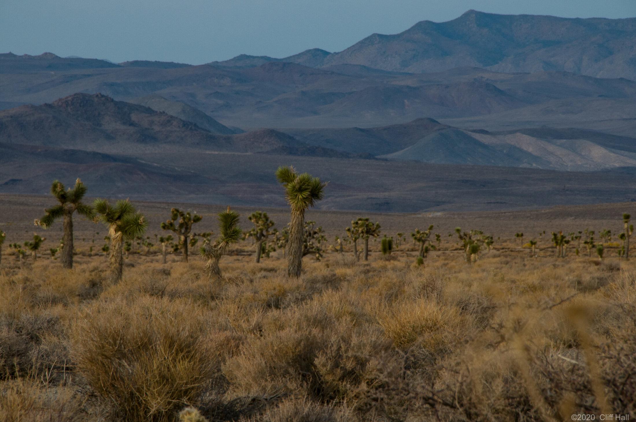Joshua Trees, Death Valley, CA