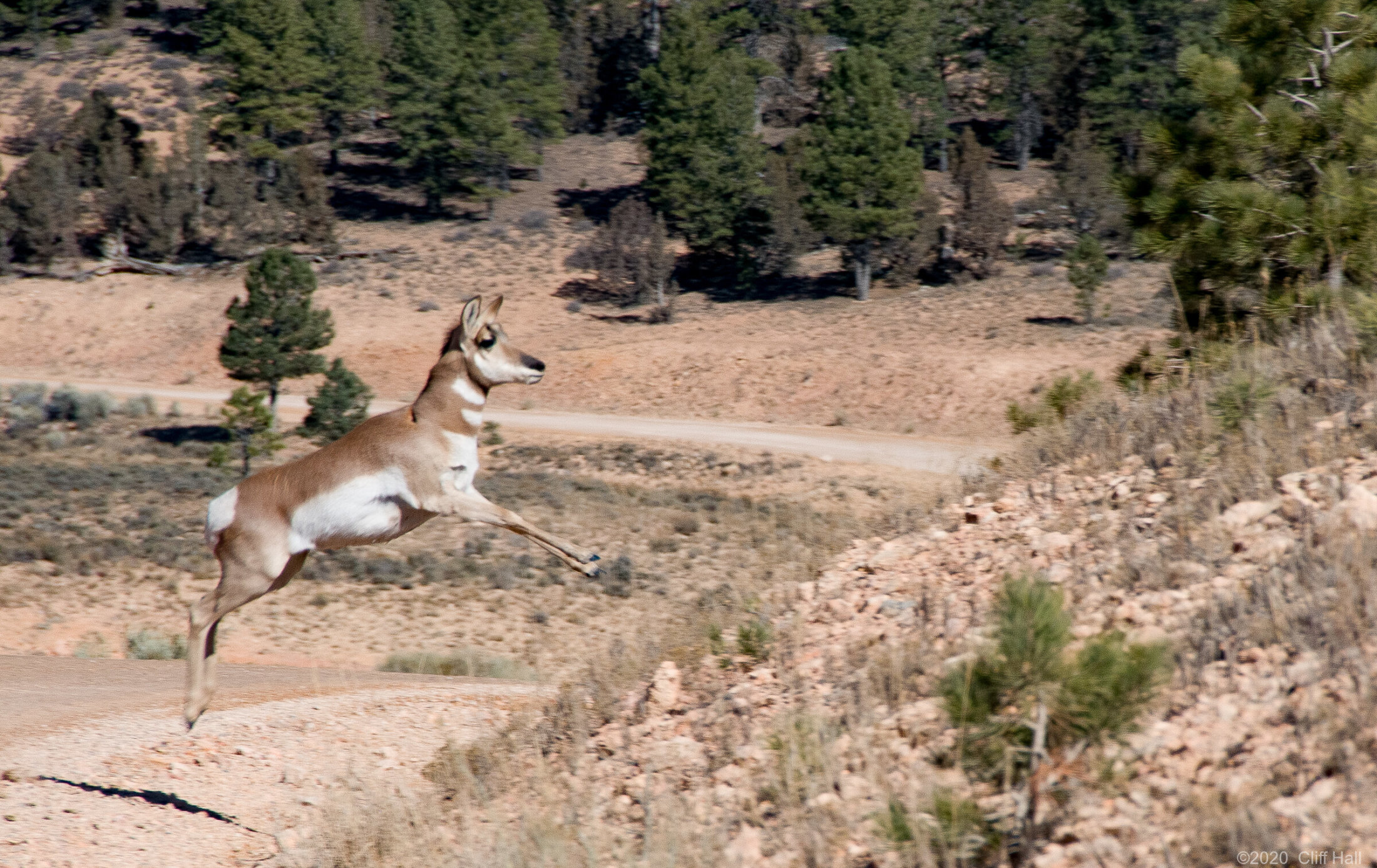Pronghorn takes a leap