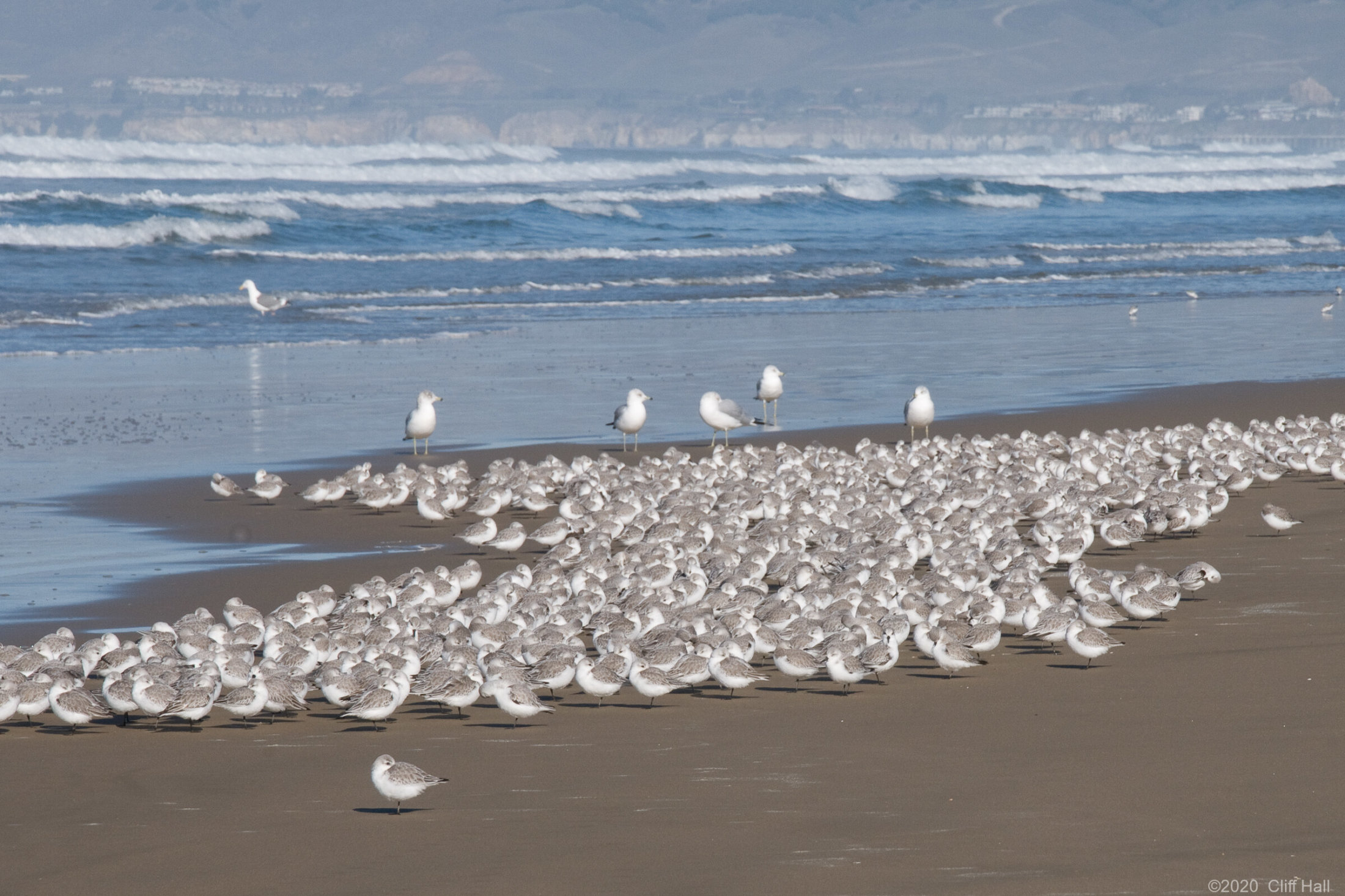 Sanderlings, Oceano Dunes SVRA, CA