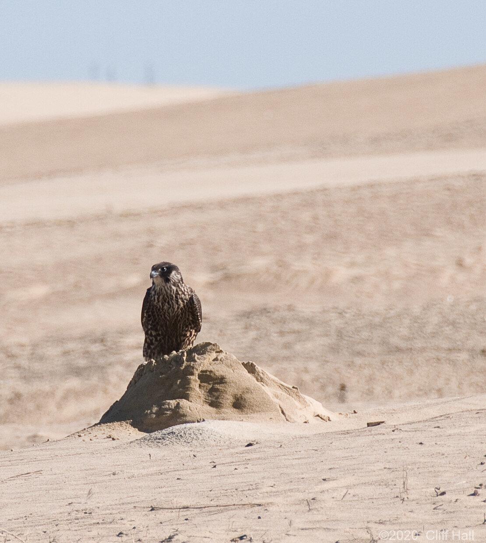 Peregine Falcon, Oceano Dunes SVRA, CA