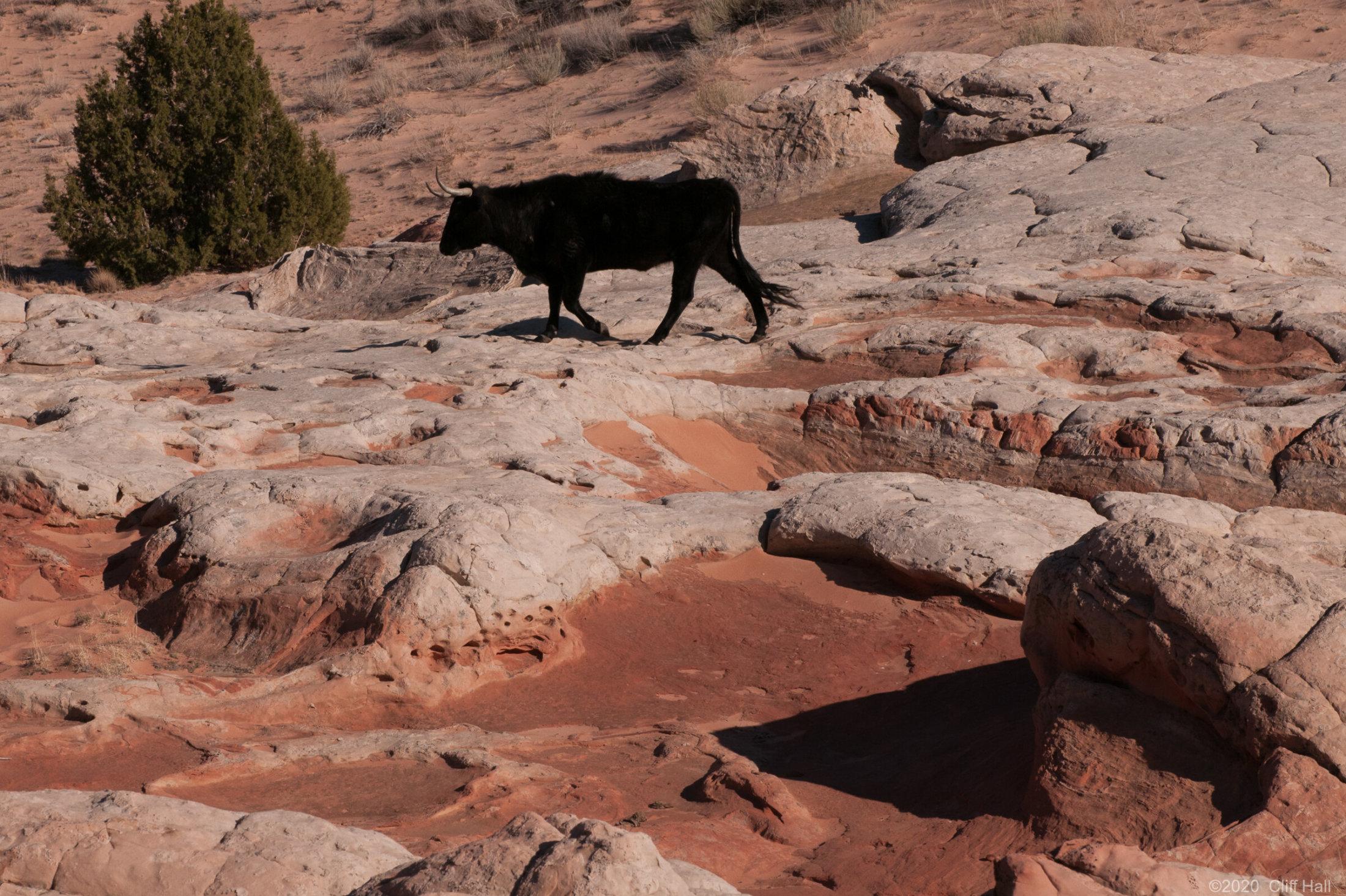 Black bull in White Pocket, AZ
