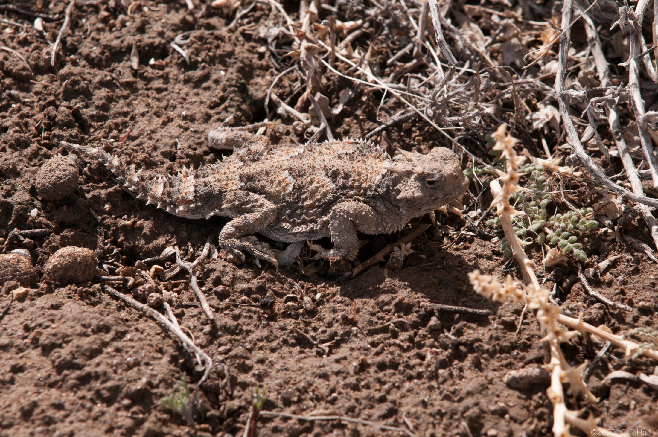 Desert Horned Lizard along US-50 in Nevada