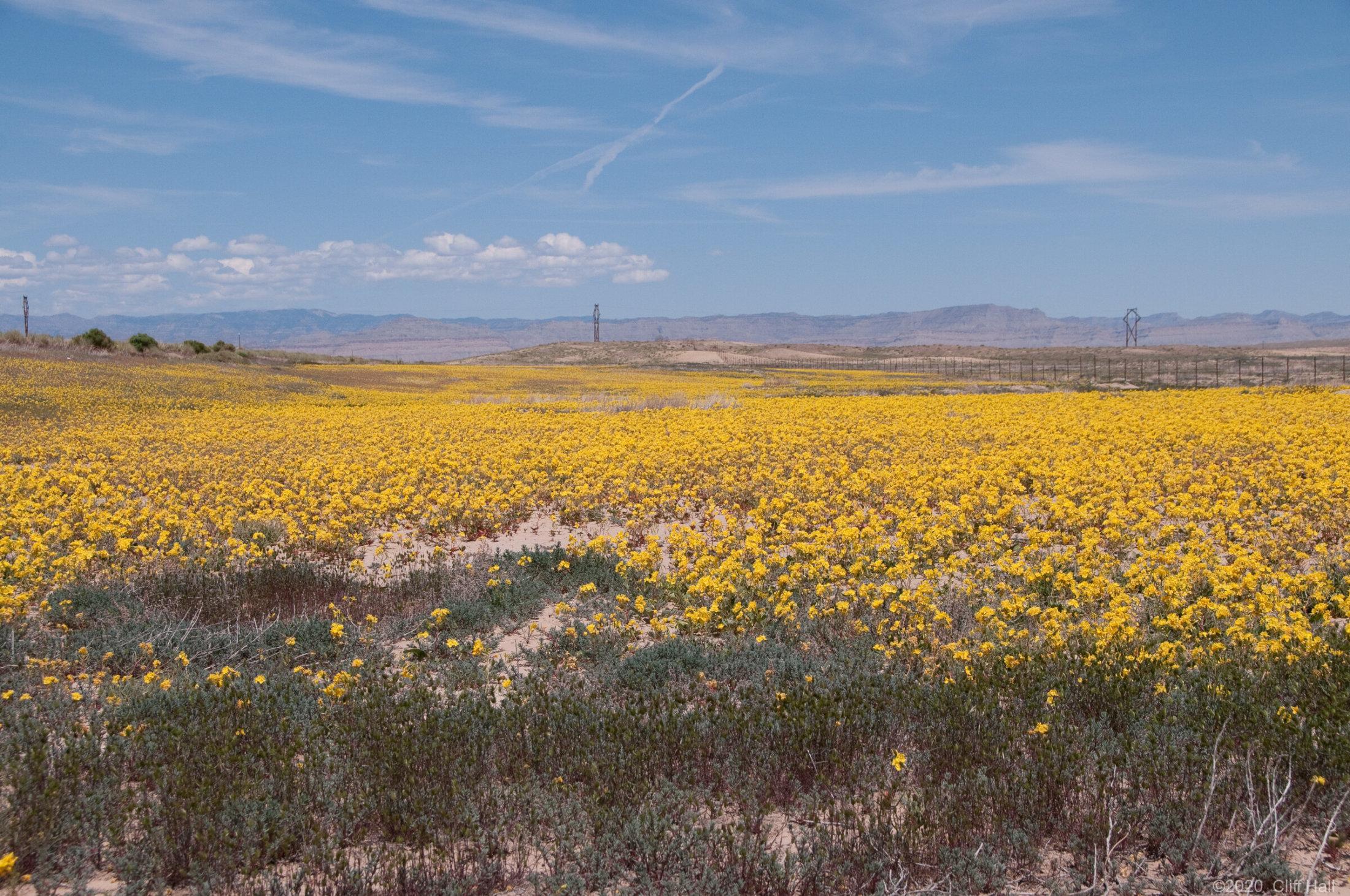 Desert primrose wildflowers