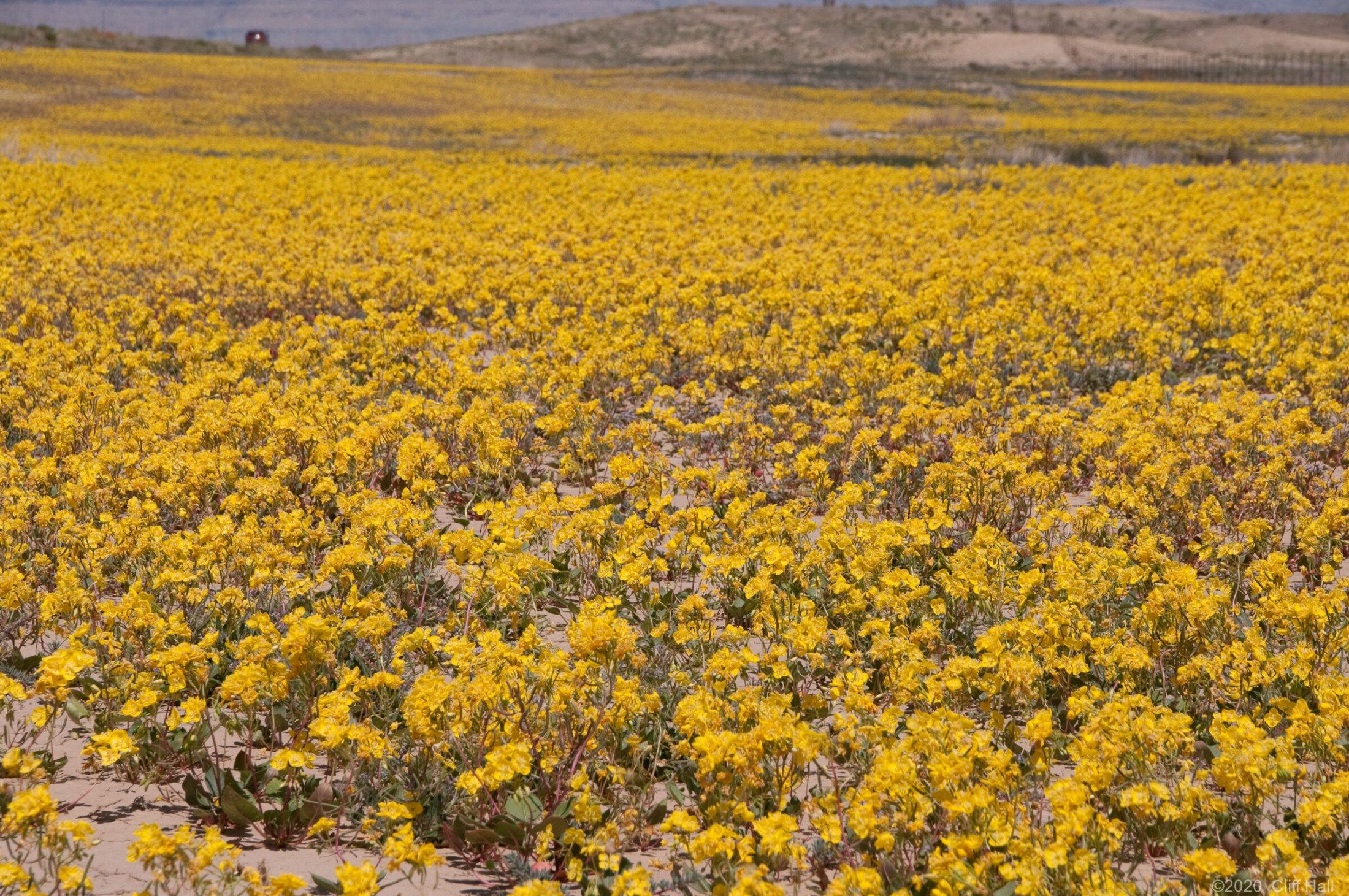 Desert primrose wildflowers along I-70