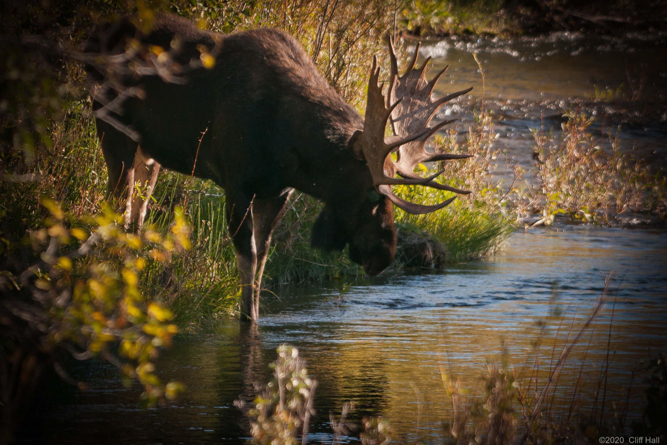 Bull Moose on Snake River. Near Moose, WY
