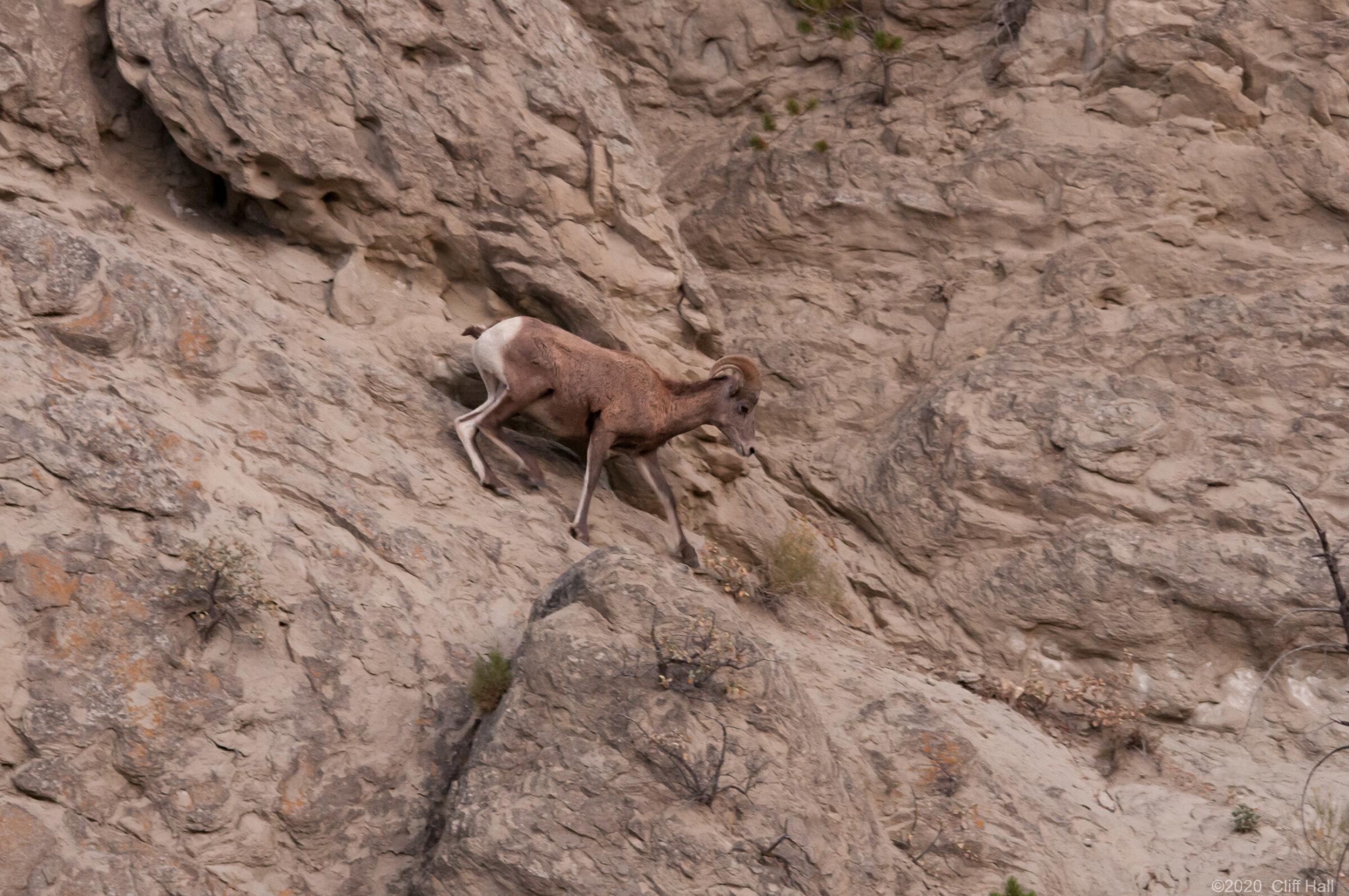 Big Horn Sheep on the edge