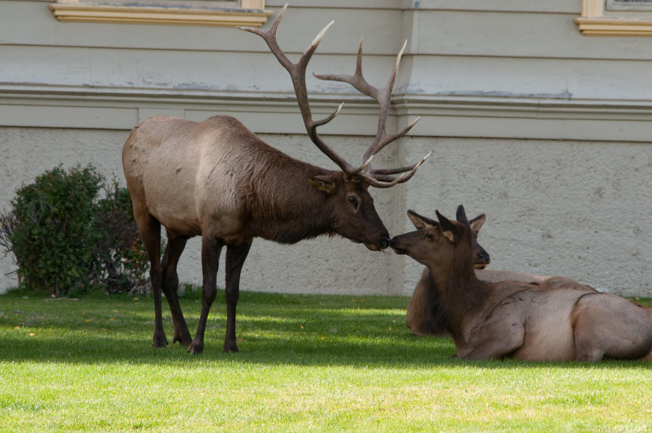 City Elk