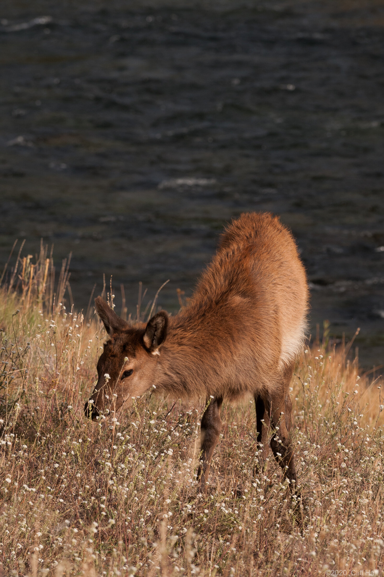 Elk Calf along Madison River