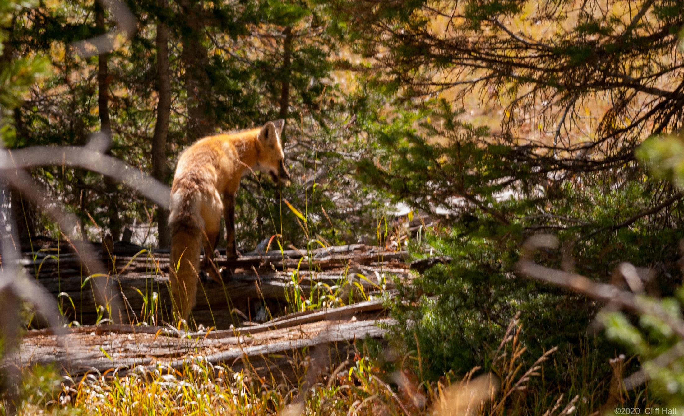 Red fox (Vulpes vulpes macroura)