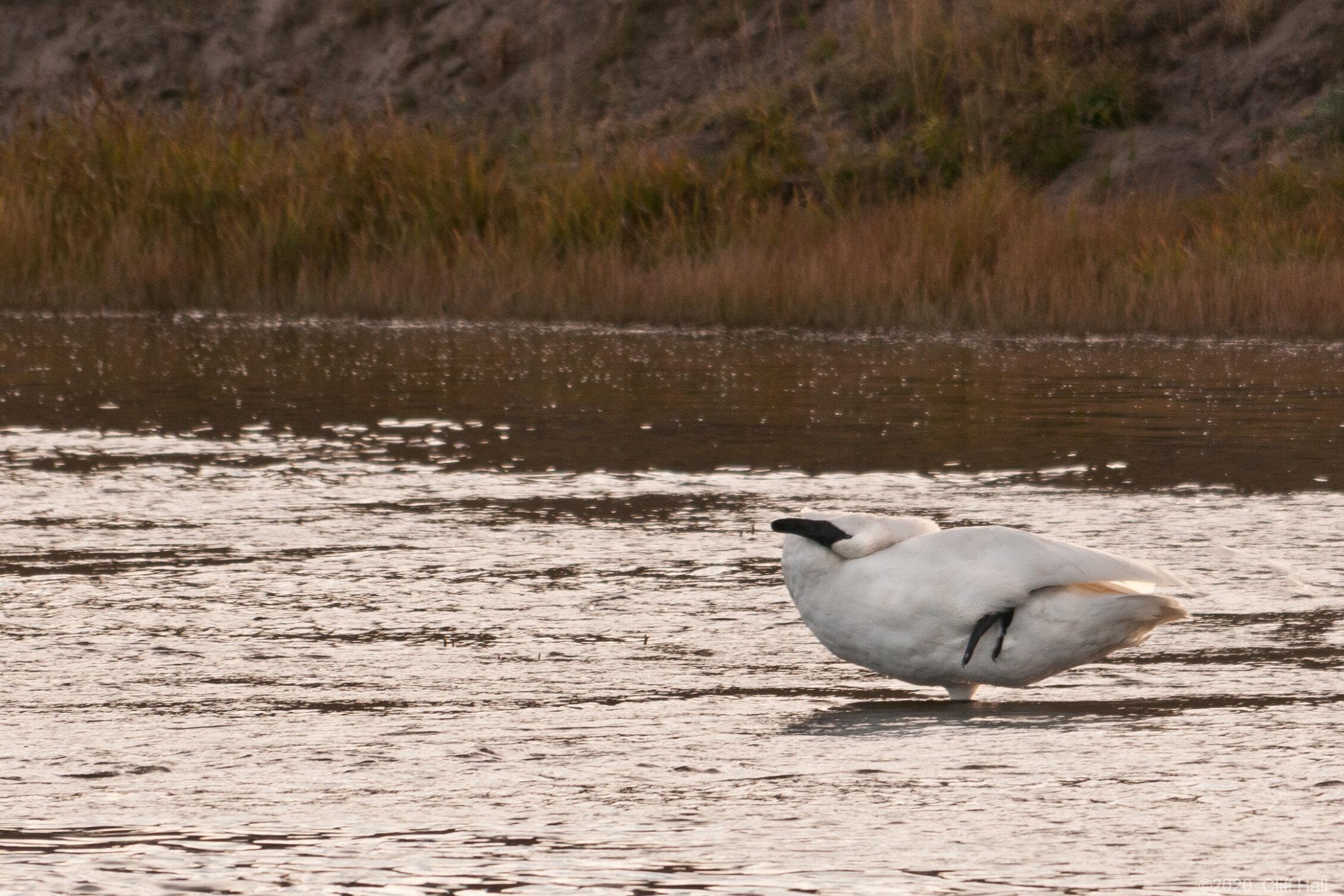 Sleeping Trumpeter Swan on one leg