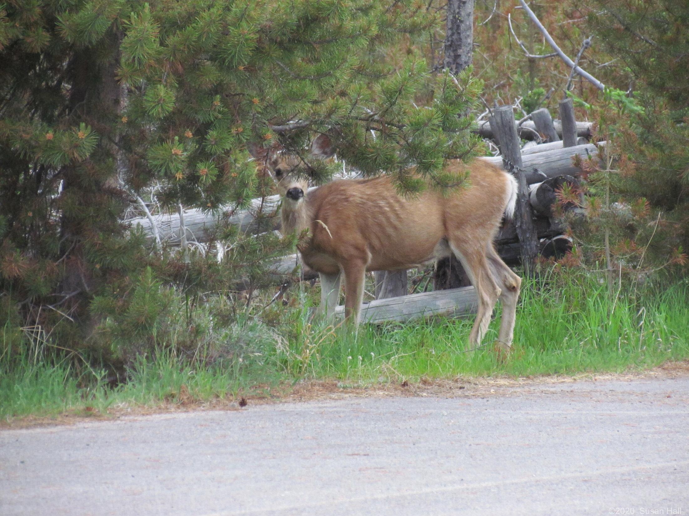 Peak a boo deer