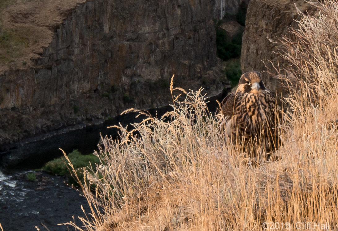 Prairie Falcon on the edge