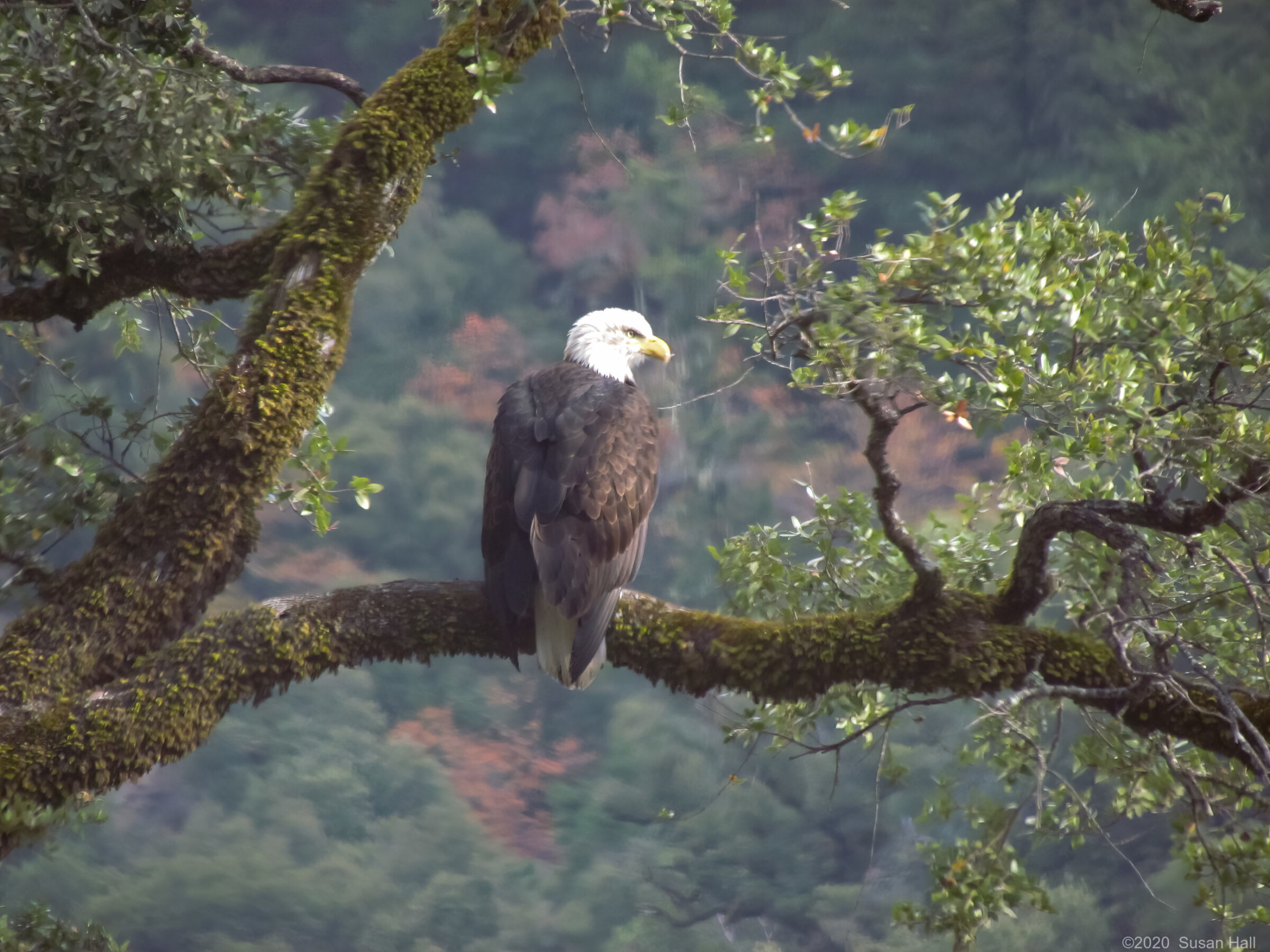 Another eagle along the river