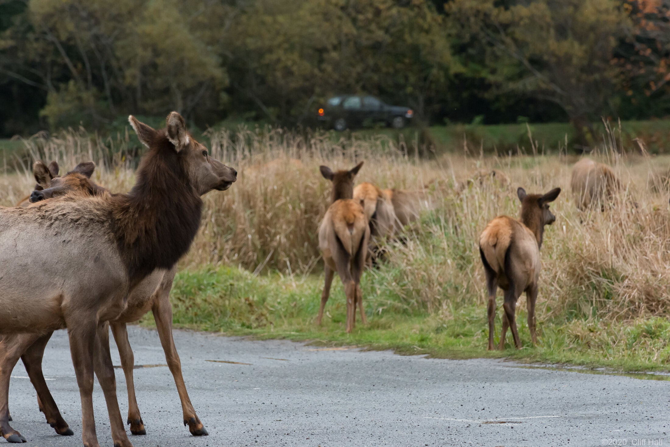 Elk nervious crossing the road