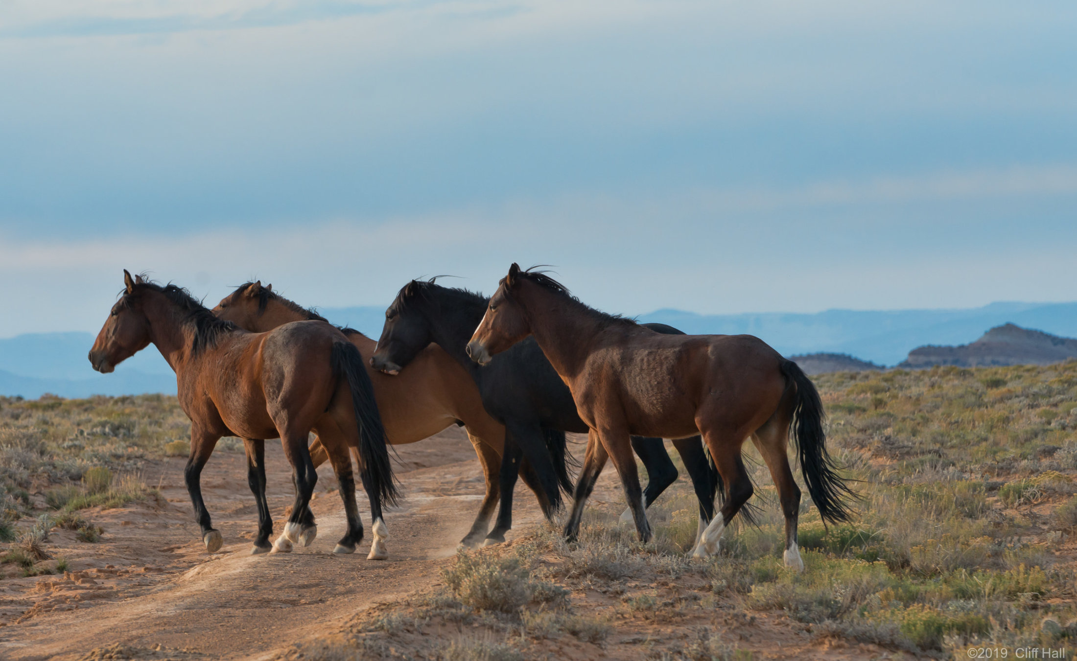 WIld horses roaming the range