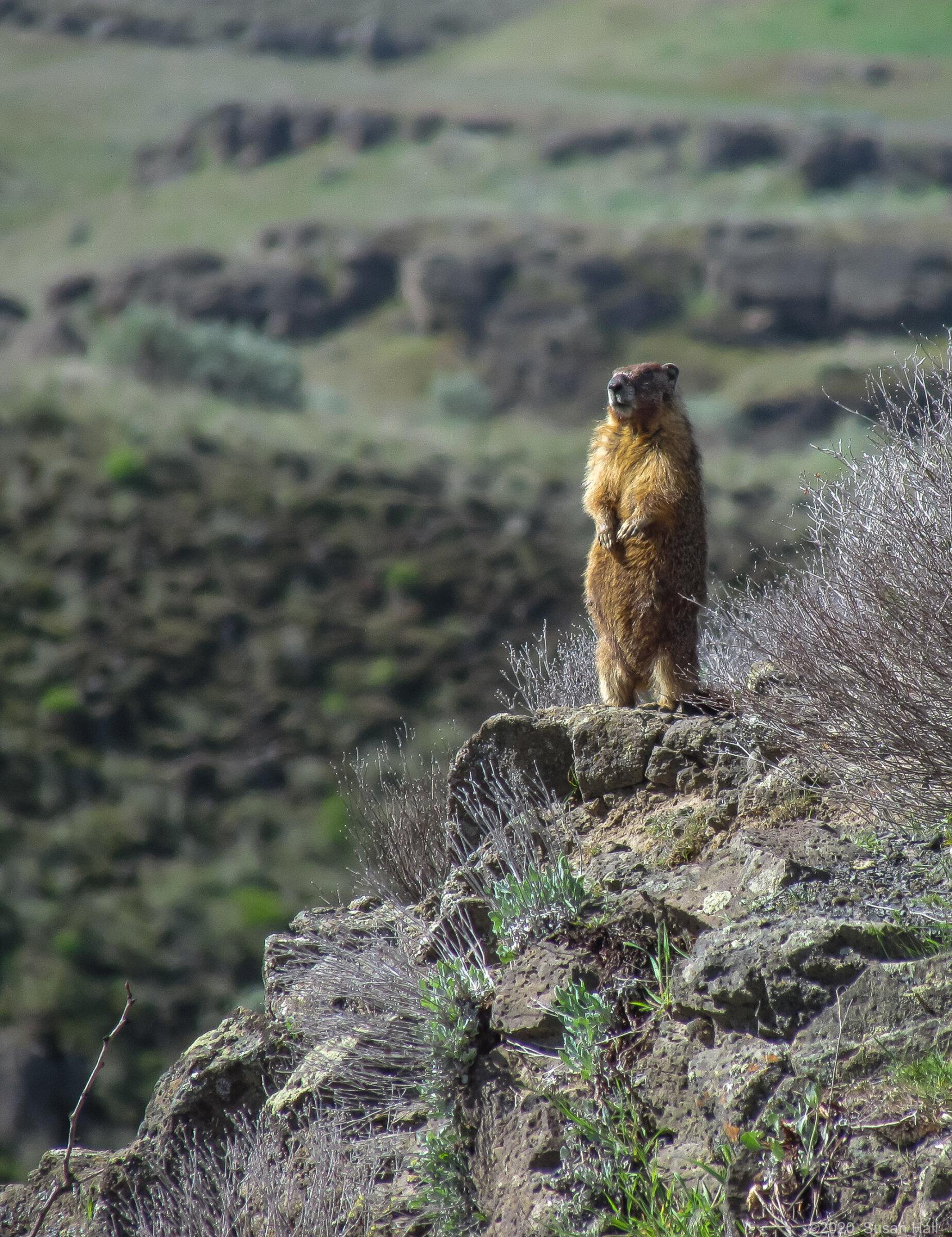 Marmot stands guard duty