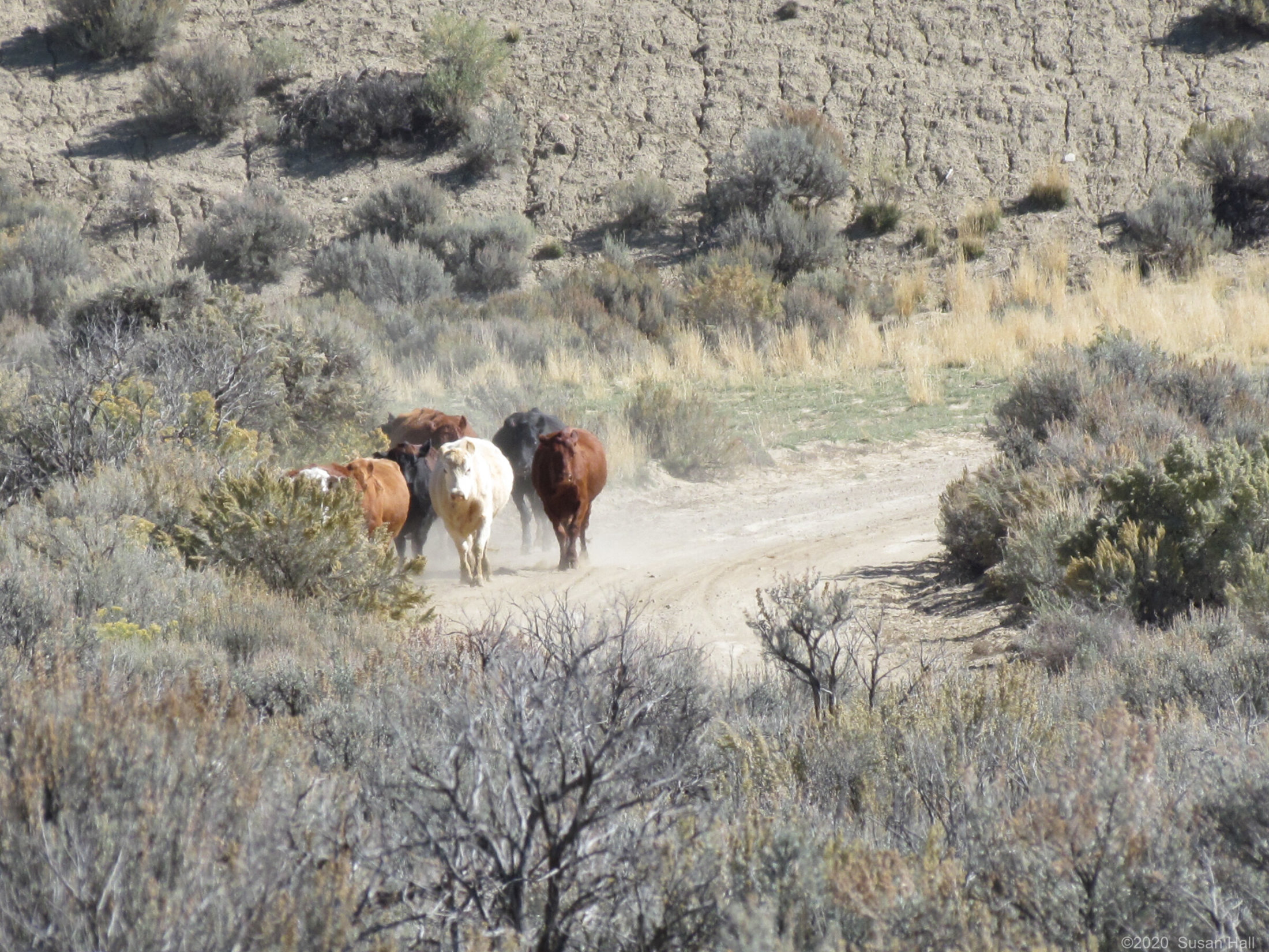 Cattle, Cottonwood Canyon Rd