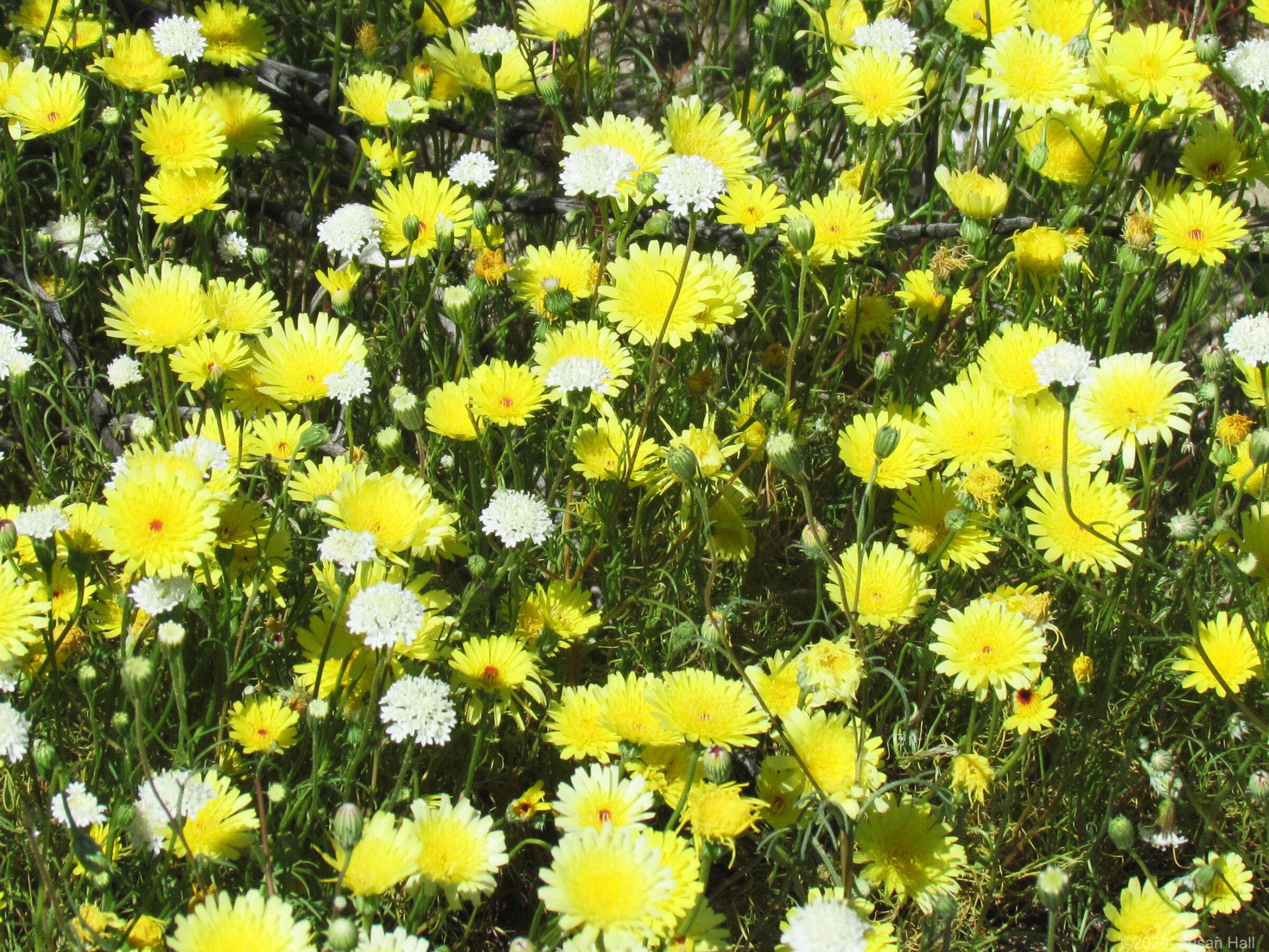 Desert Dandelion [Malacothrix glabrata]
