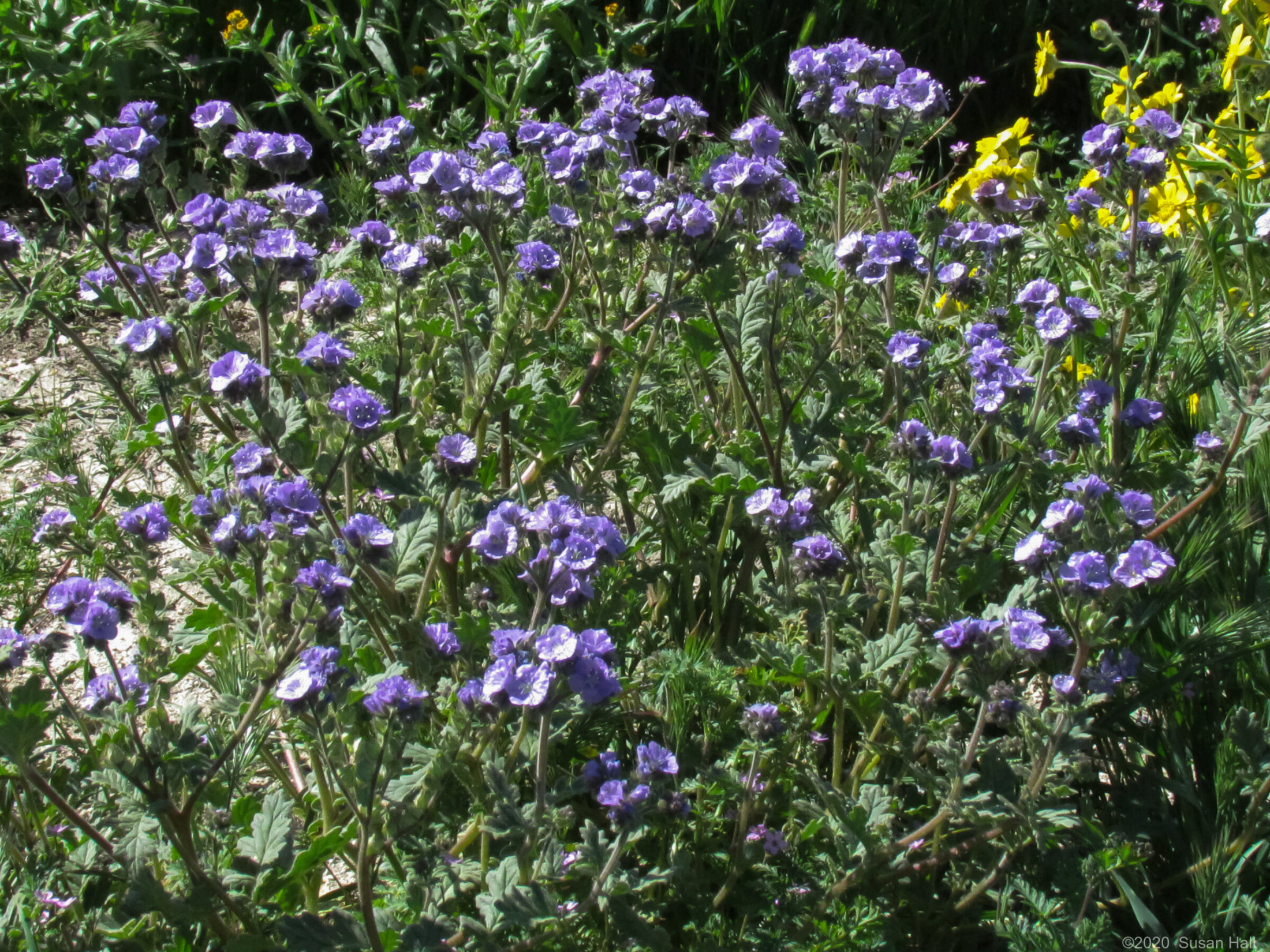 Lady Phacelia wildflowers