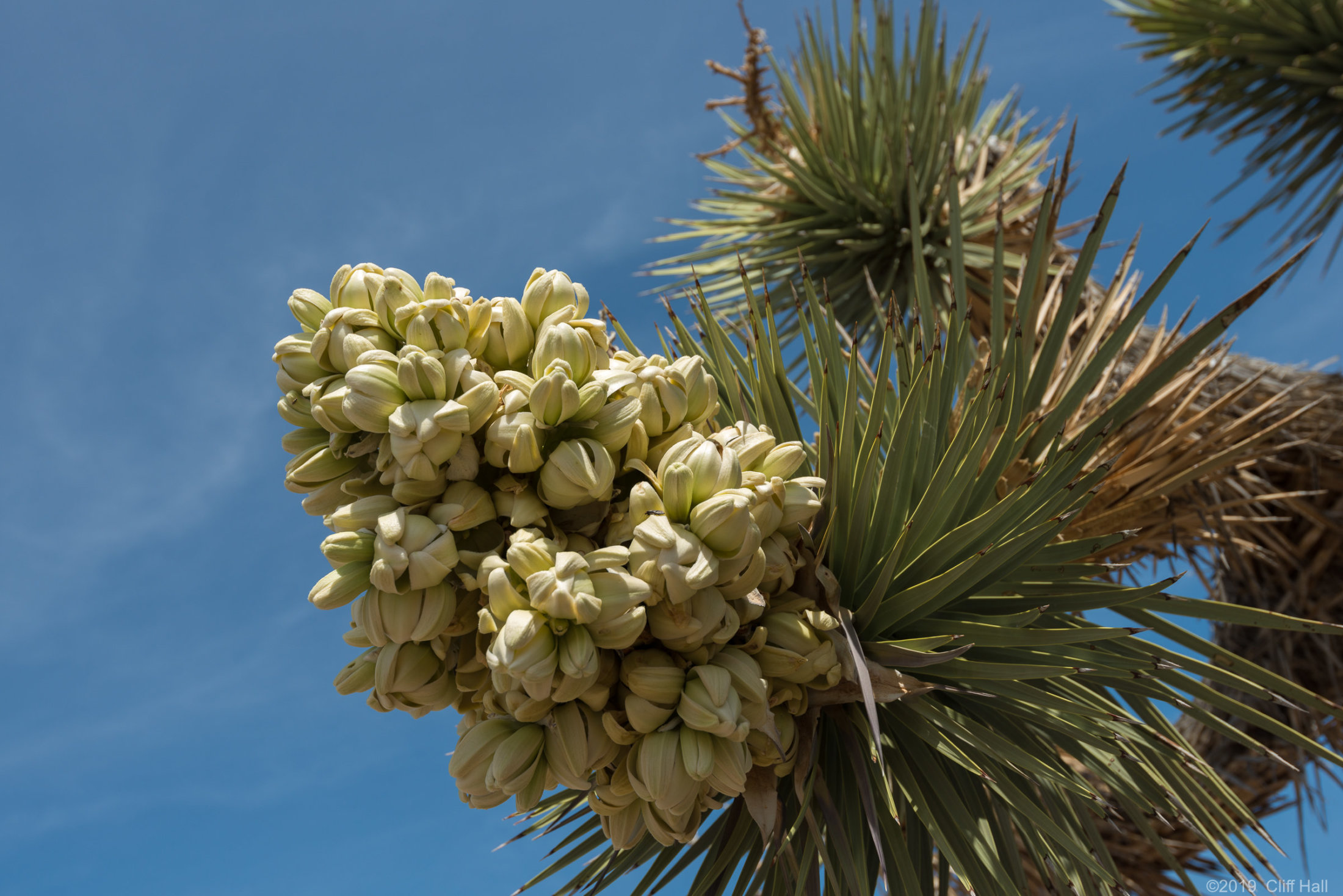 Joshua Tree blossoms