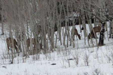 Elk in the Aspens